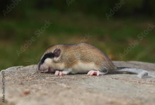 Papiers peints Squirrel Forest Dormouse, Dryomys nitedula