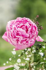 pink flower, peony
