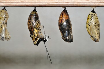 Hatching butterfly from cocon