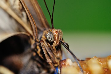 Butterfly head with streched out proboscis