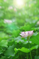 White pink lotus flower among green foliage