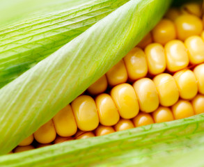 Sweet corn closeup. Fresh organic corn cob