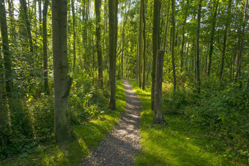 Footpath through a sunlit forest