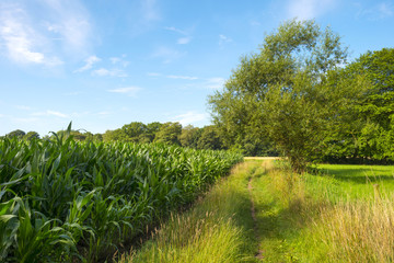 Footpath through meadow and corn in summer
