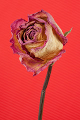withered rose on red