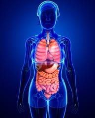 Digestive system of female body