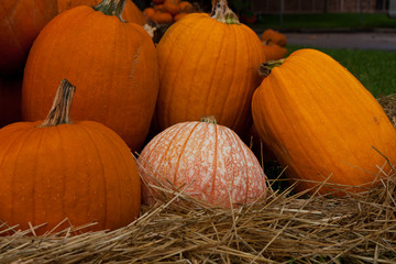 Pumpkin Patch with Variegated Pumpkin