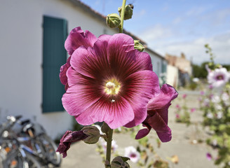 Hollyhock in an empty street in a village on Ile d'AIx of France