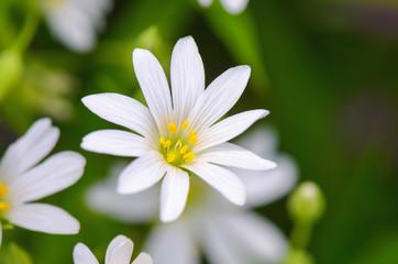 Stellaria white flower