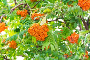 Rowanberry branch