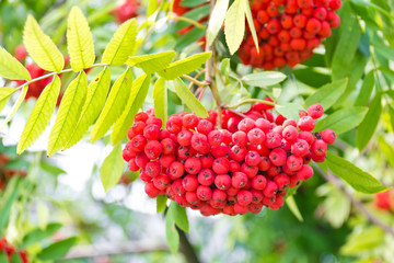 Rowanberry branch