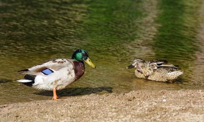 Mallard couple - Anas platyrhynchos