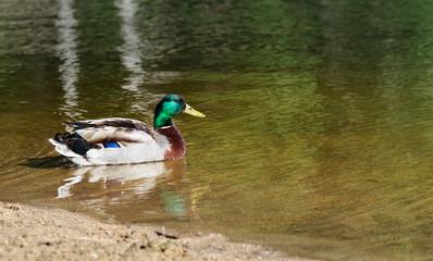Mallard swimming - Anas platyrhynchos