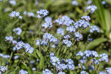 forget-me-not in spring