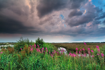 stormy sky over marsh with purple wildflowers