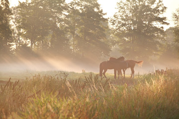 horses on pasture in dense fog