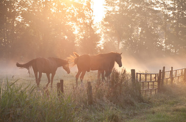horses in sunrise fog