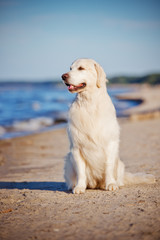 golden retriever dog at the sea