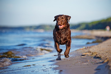 labrador retriever dog on the beach
