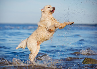 happy dog jumps up in water