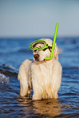 golden retriever dog in snorkel gear
