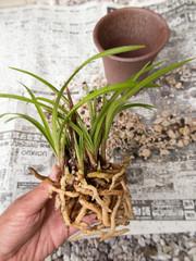 春蘭の植え替え