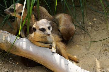 Meerkat relaxation