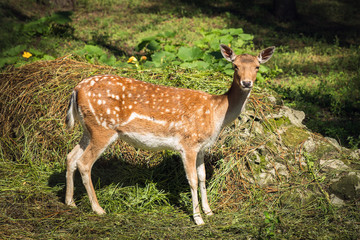 Dappled deer
