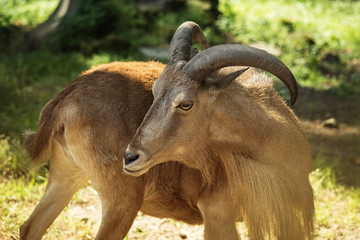 Barbary sheep closeup