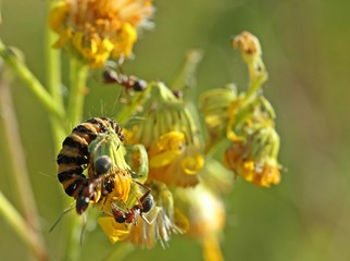 Jakobskreuzkraut mit Jakobsbärraupe und Ameisen