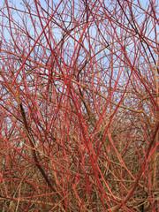 Chaotische rote Zweige