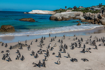 Penguins in Boulders Beach near Cape Town South Africa