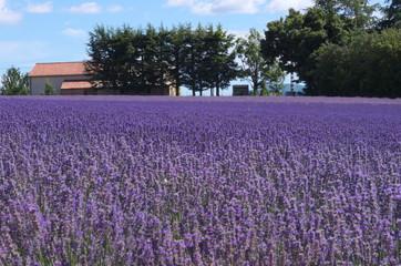 Promenade dans les Champs de lavandes en Provence