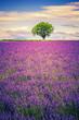 lavender at sunset - 67754108