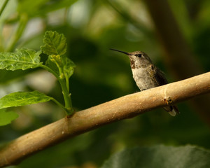 Hummingbird Perched On Fig Tree Branch