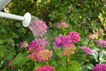 Blumen gießen im Garten - Hortensien