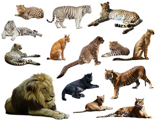 Set of  lion and other big wildcats. Isolated over white
