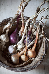straw basket with freshly harvested garlic and colored onions