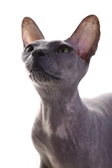 Gray Don Sphynx Cat on white background