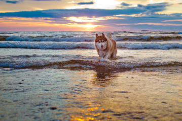 siberian husky dog at sunset