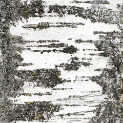 Birch's trunk texture fragment