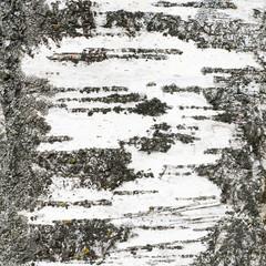 Birch's trunk texture fragment