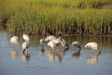 Feeding Wood storks 2