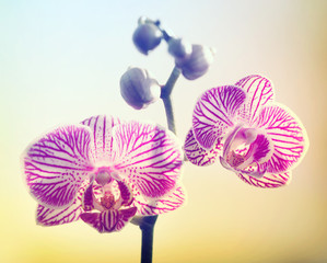 Pink Orchid on Yellow Backround