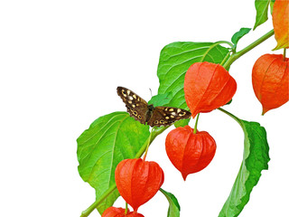 Chinese Lantern branch with butterfly