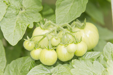 Unripened Tomatoes