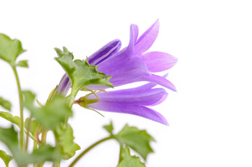 Closeup photo of  Campanula flovet isolated on white