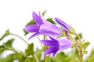 Closeup photo of  Campanula flovet isolated on white background