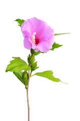 Mallow flower isolated on a white background
