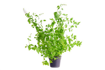 Fresh mint plant in flowerpot isolated on white background